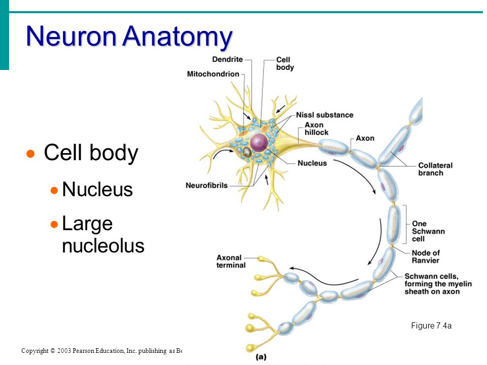 neuron cell body from - photo #9