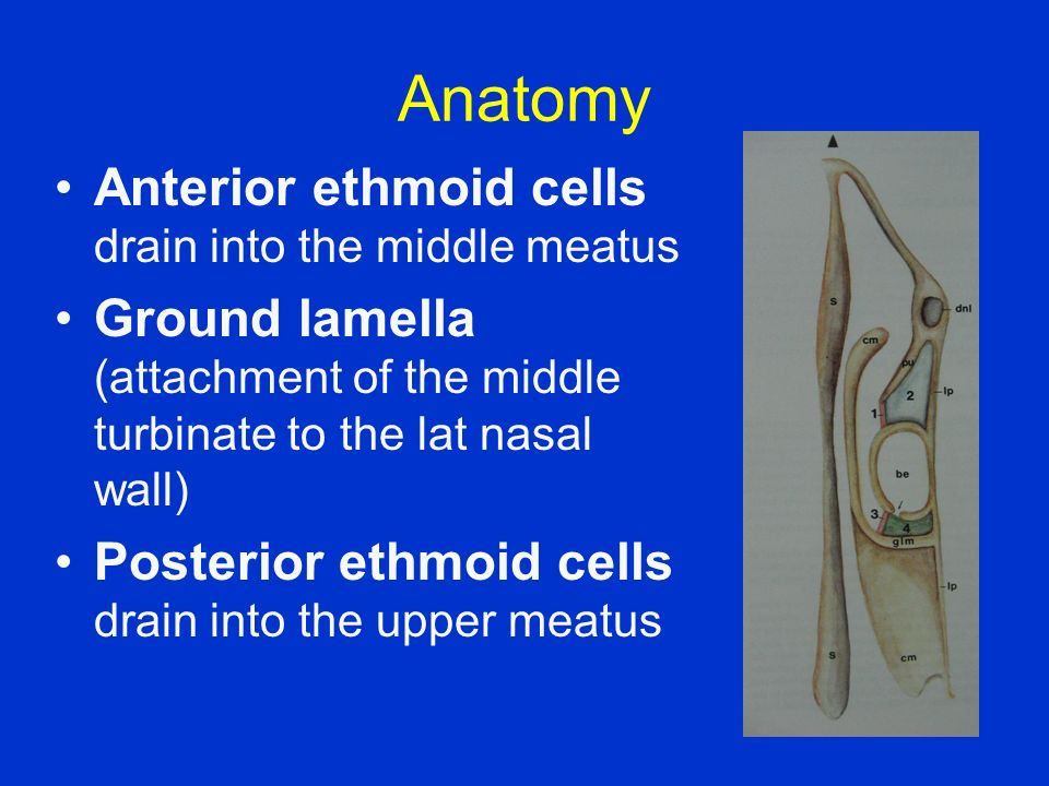 Anatomy Anterior ethmoid cells drain into the middle meatus