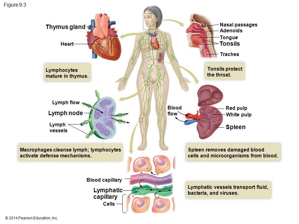 Ziemlich Thymus Diagramm Fotos - Menschliche Anatomie Bilder ...