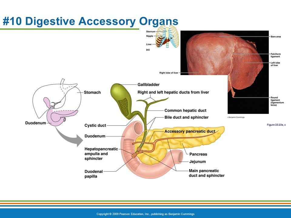 anatomy of digestive system stomach and