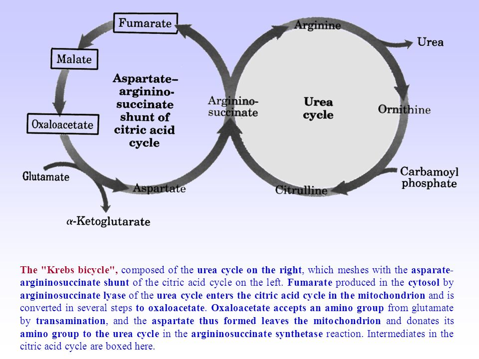 ornithine cycle and its relationship with krebs