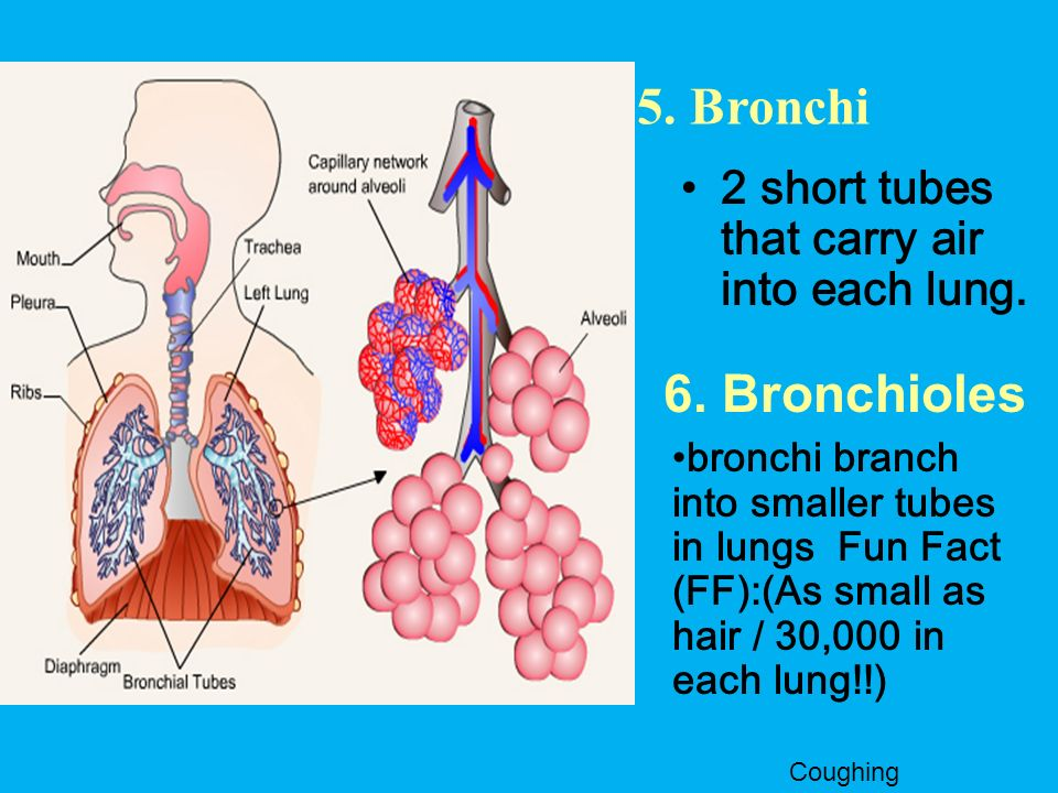 5. Bronchi 6. Bronchioles 2 short tubes that carry air into each lung.