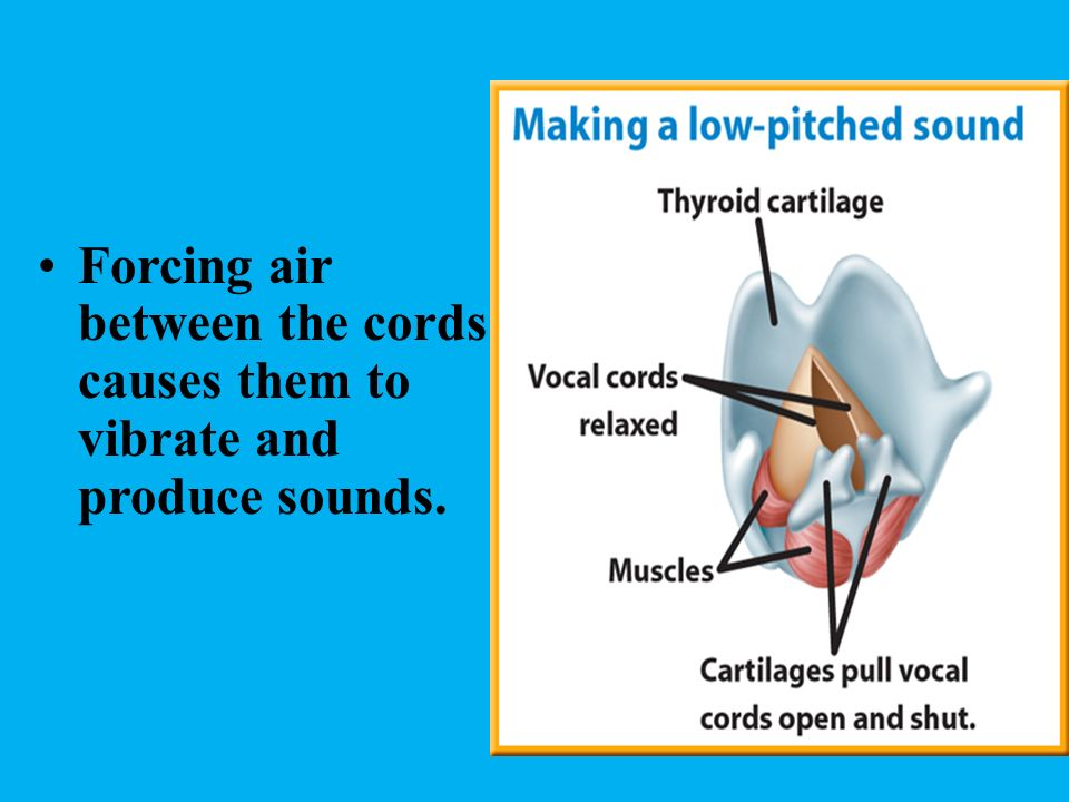 Forcing air between the cords causes them to vibrate and produce sounds.
