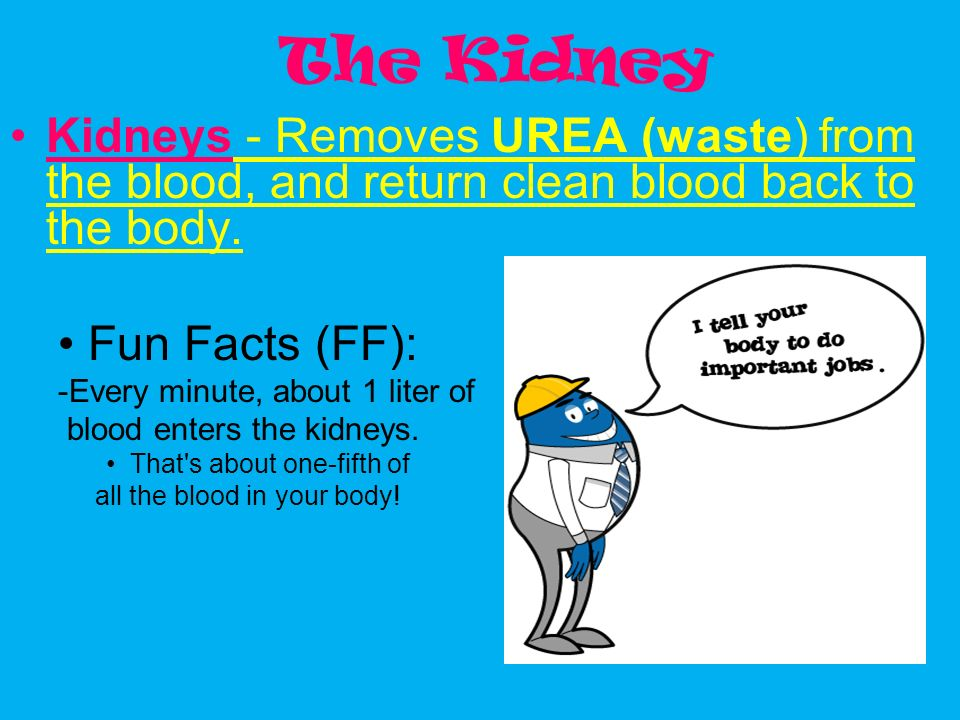 The Kidney Kidneys - Removes UREA (waste) from the blood, and return clean blood back to the body. Fun Facts (FF):