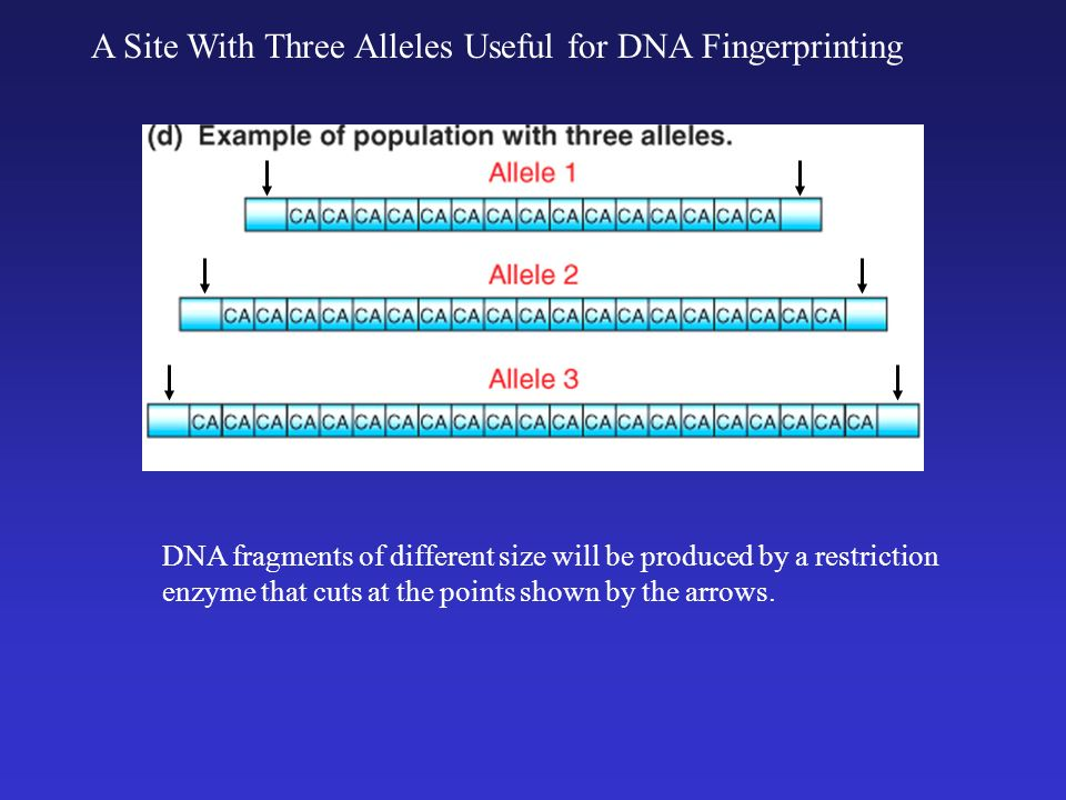 Dolly and surrogate mom ppt download a site with three alleles useful for dna fingerprinting ccuart Image collections