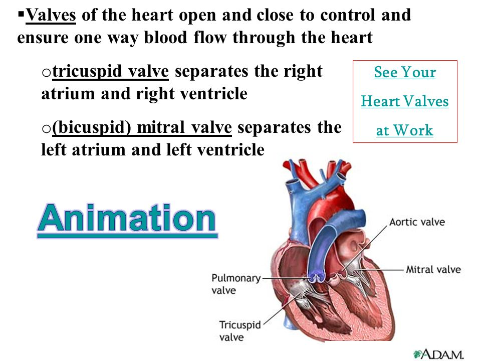 Valves of the heart open and close to control and ensure one way blood flow through the heart