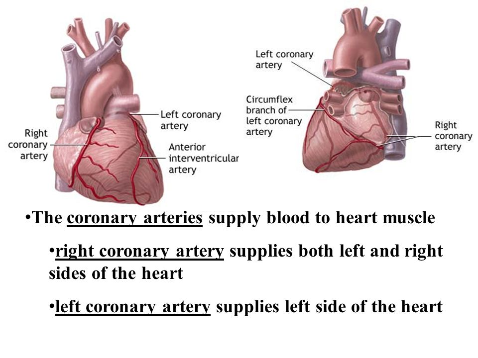The coronary arteries supply blood to heart muscle