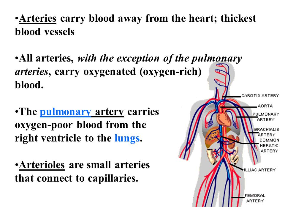 Arteries carry blood away from the heart; thickest blood vessels