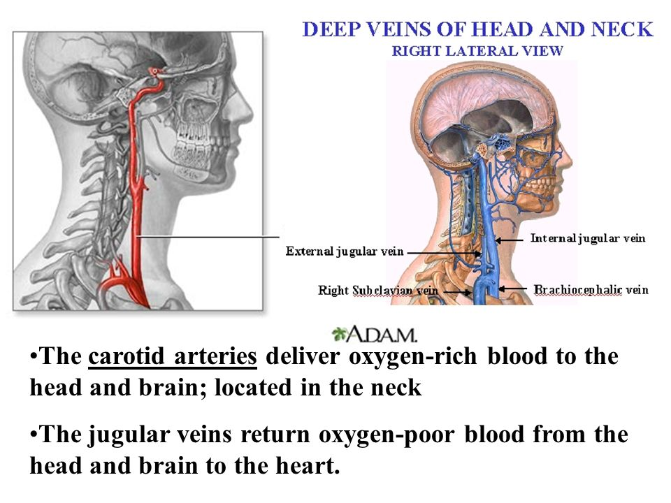 The carotid arteries deliver oxygen-rich blood to the head and brain; located in the neck