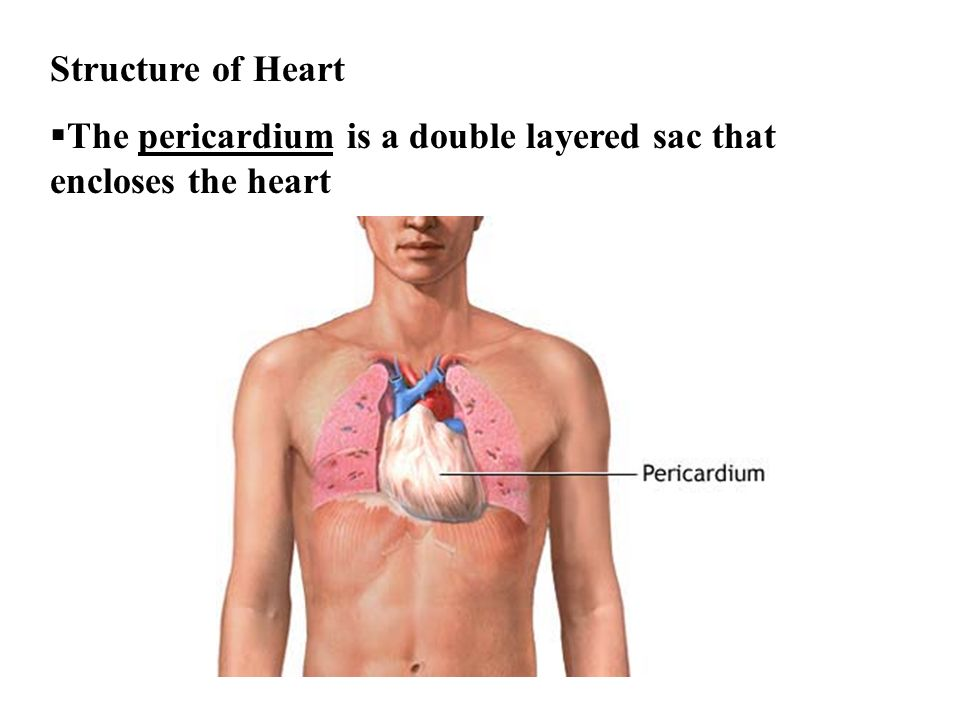 Structure of Heart The pericardium is a double layered sac that encloses the heart