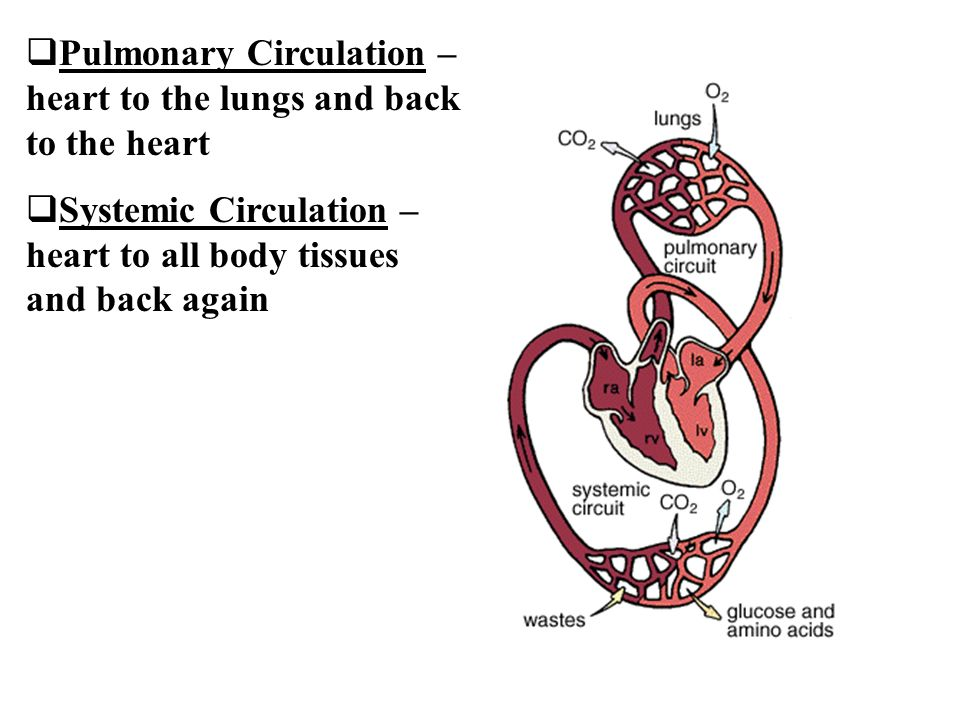 Pulmonary Circulation –heart to the lungs and back to the heart