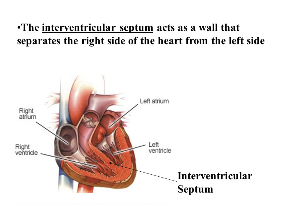 The interventricular septum acts as a wall that separates the right side of the heart from the left side