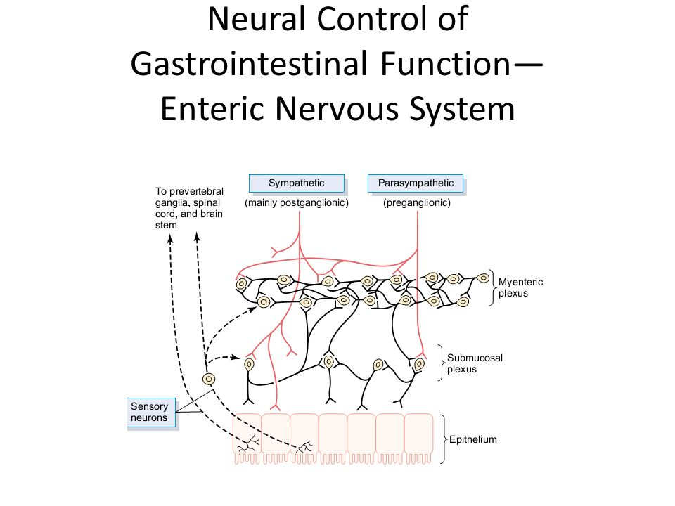 a study of gastrointestinal physiology enteric nervous system The practice of anesthesia requires a meticulous understanding of the autonomic nervous system physiology the sympathetic nervous the enteric nervous system is an additional component in the autonomic nervous system and constitutes a new and gastrointestinal system intestines.