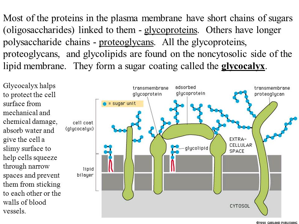 http://slideplayer.com/6250224/21/images/40/Most+of+the+proteins+in+the+plasma+membrane+have+short+chains+of+sugars+%28oligosaccharides%29+linked+to+them+-+glycoproteins.+Others+have+longer+polysaccharide+chains+-+proteoglycans.+All+the+glycoproteins%2C+proteoglycans%2C+and+glycolipids+are+found+on+the+noncytosolic+side+of+the+lipid+membrane.+They+form+a+sugar+coating+called+the+glycocalyx..jpg