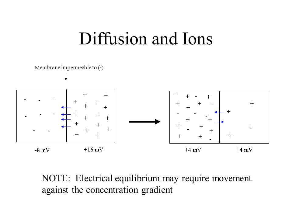 Diffusion and Ions Membrane impermeable to (-) NOTE: Electrical equilibrium may require movement against the concentration gradient.