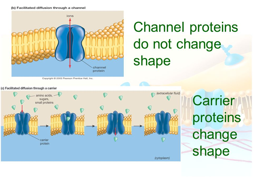 Channel proteins do not change shape