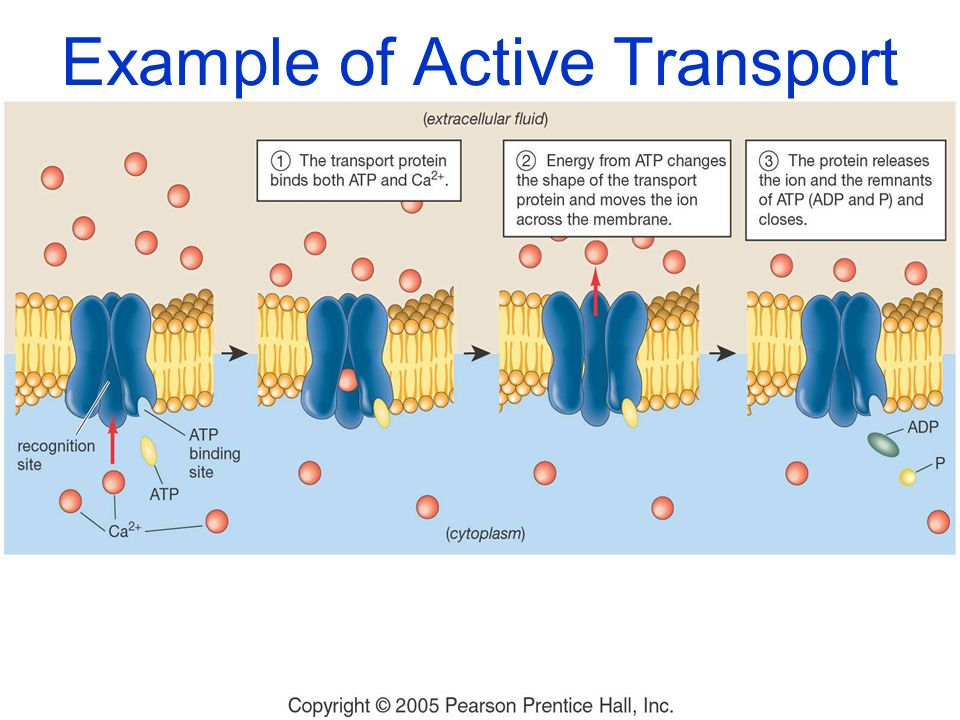 Example of Active Transport