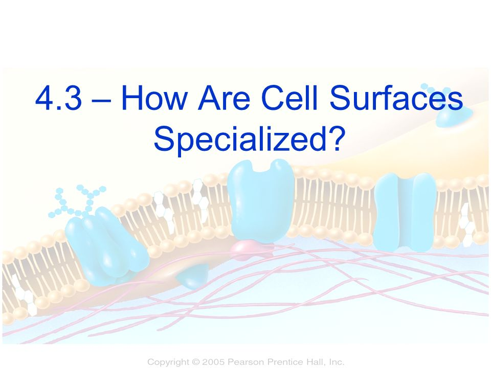 4.3 – How Are Cell Surfaces Specialized