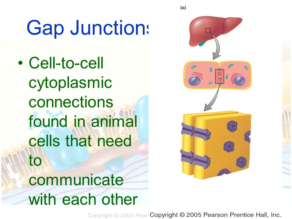 Gap Junctions Cell-to-cell cytoplasmic connections found in animal cells that need to communicate with each other.