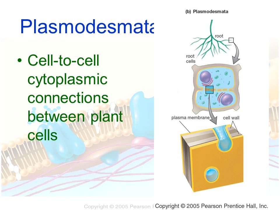 Plasmodesmata Cell-to-cell cytoplasmic connections between plant cells