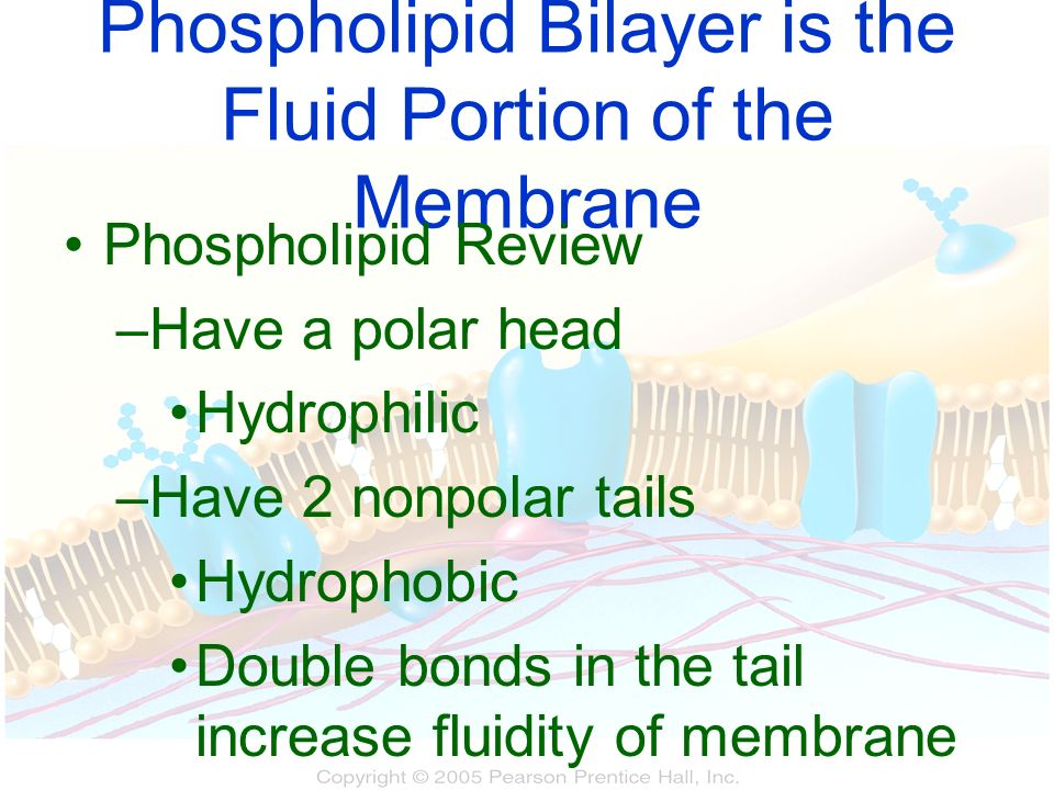 Phospholipid Bilayer is the Fluid Portion of the Membrane