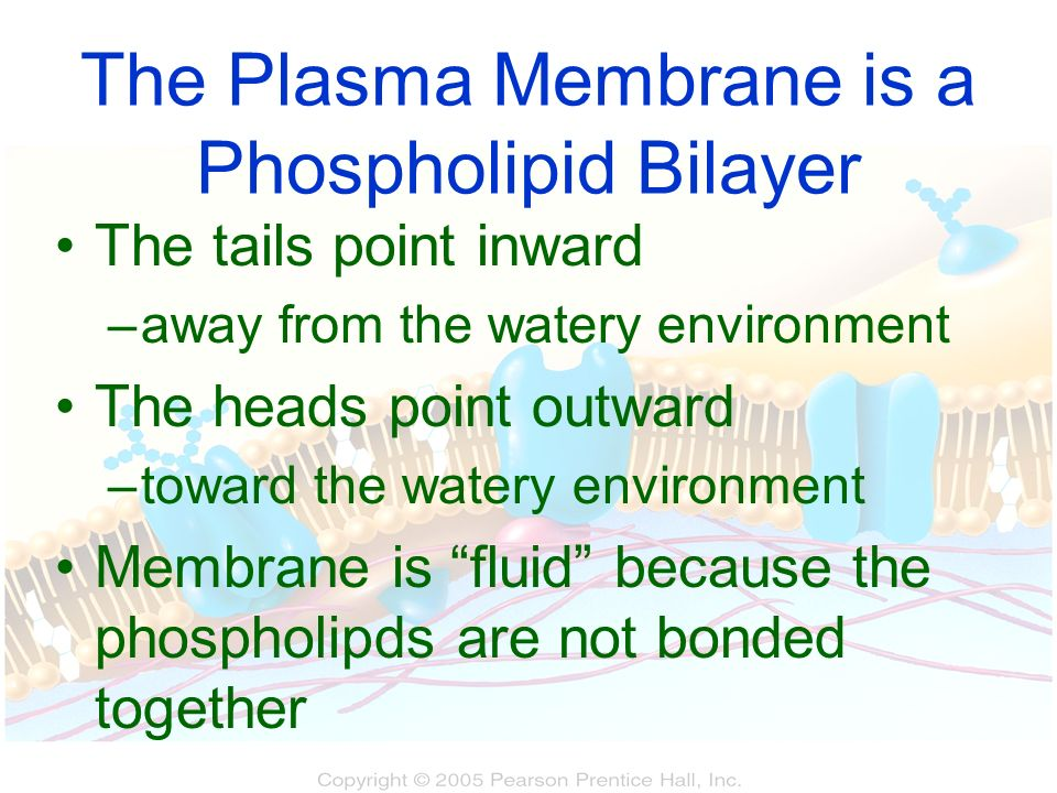 The Plasma Membrane is a Phospholipid Bilayer