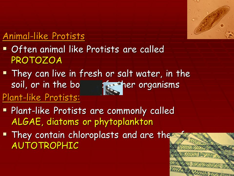Animal-like Protists Often animal like Protists are called PROTOZOA.