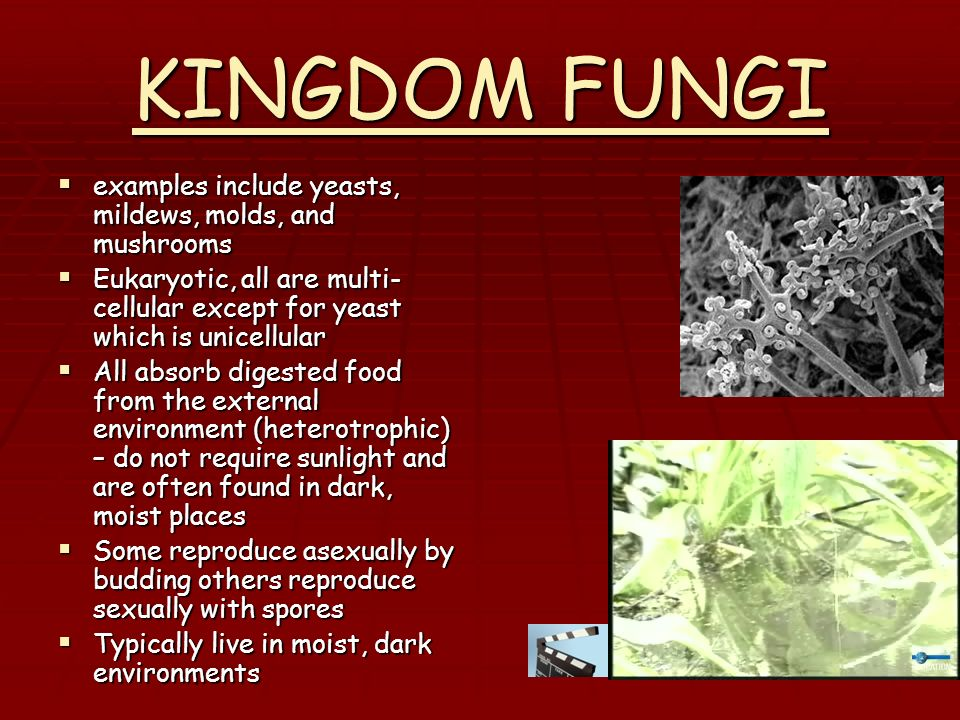 KINGDOM FUNGI examples include yeasts, mildews, molds, and mushrooms
