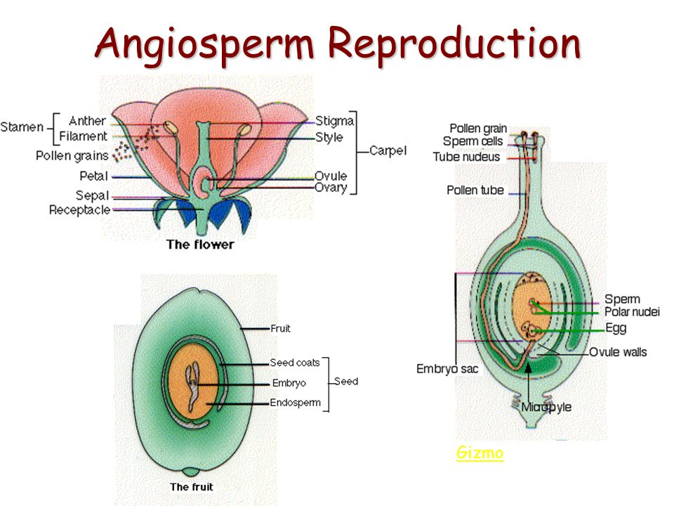 Angiosperm Reproduction