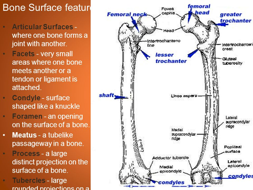 Compact Bone and Spongy Bone - ppt download