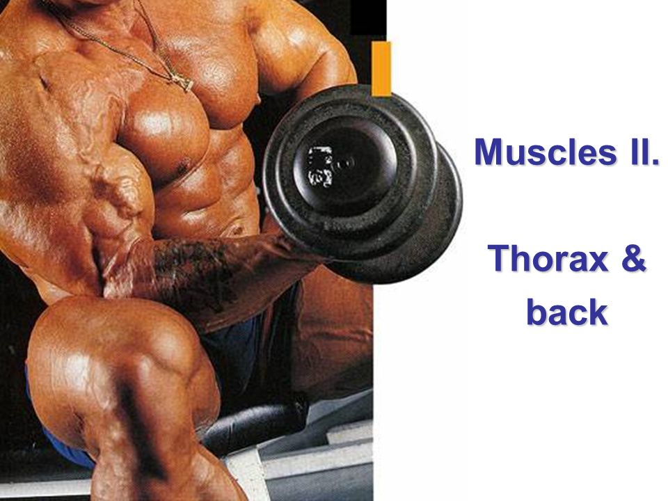 Muscles II. Thorax & back