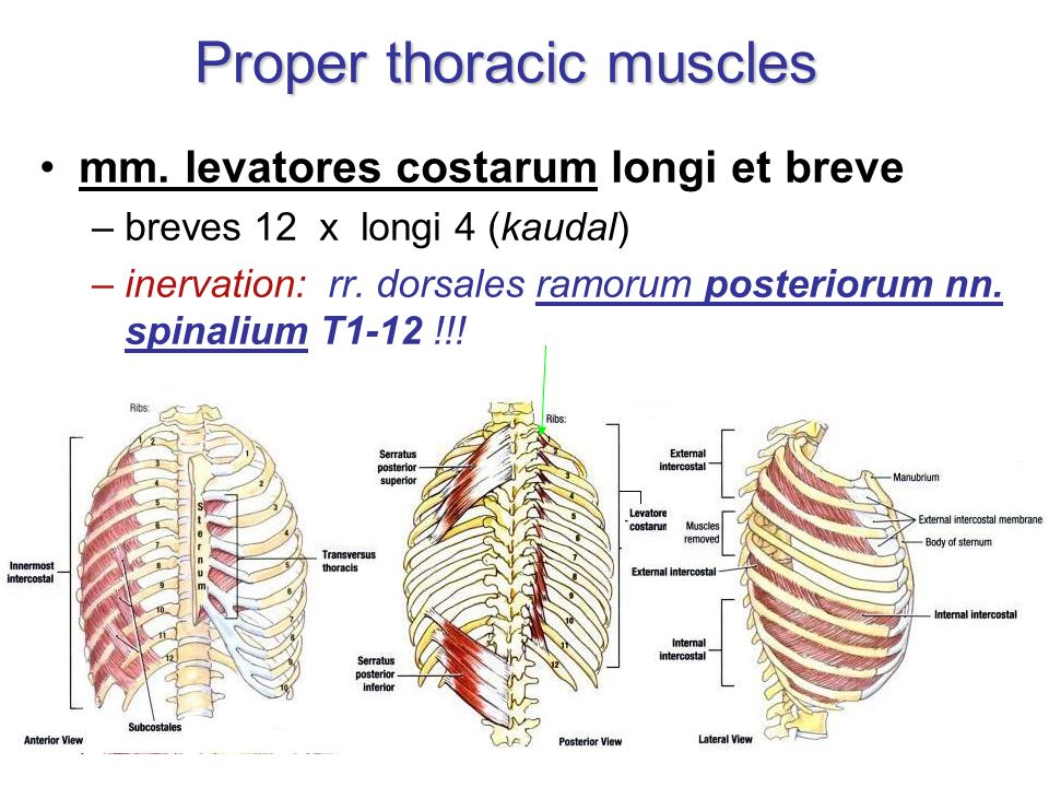 Proper thoracic muscles
