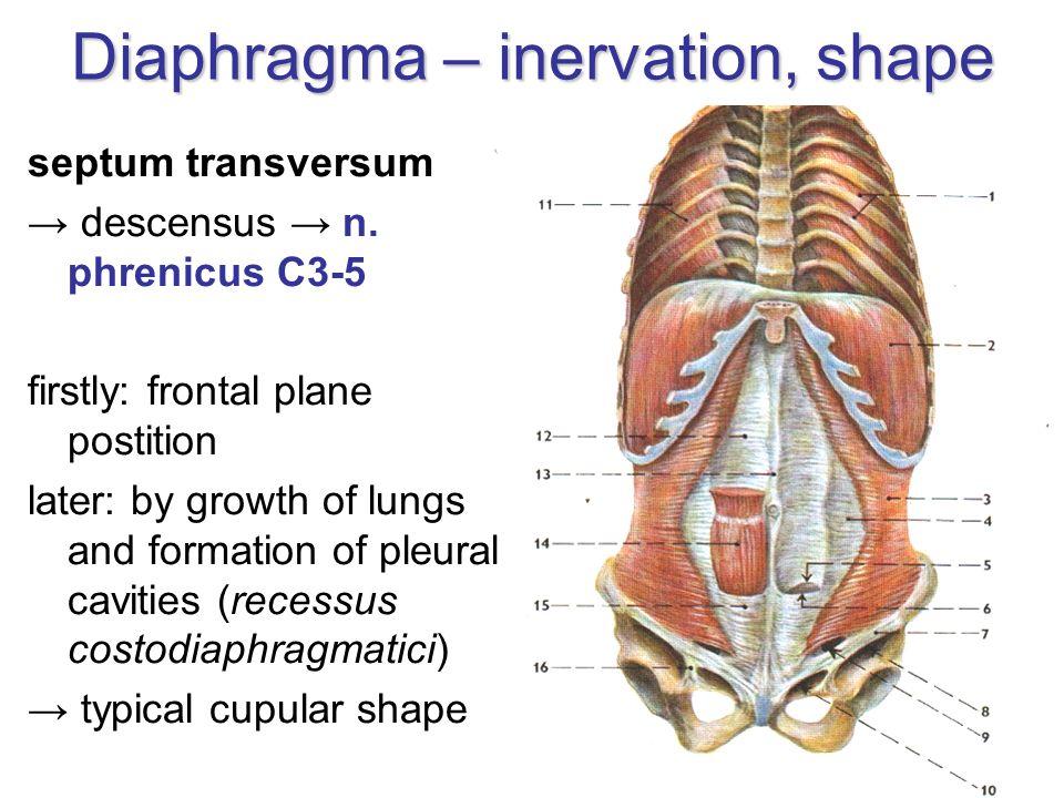 Diaphragma – inervation, shape