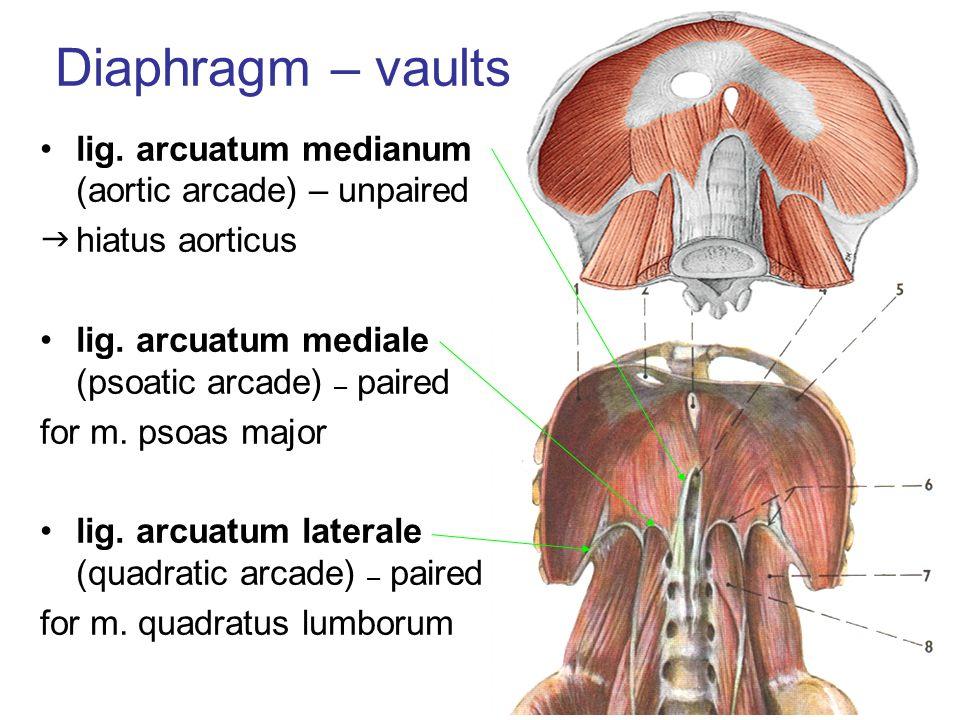 Diaphragm – vaults lig. arcuatum medianum (aortic arcade) – unpaired