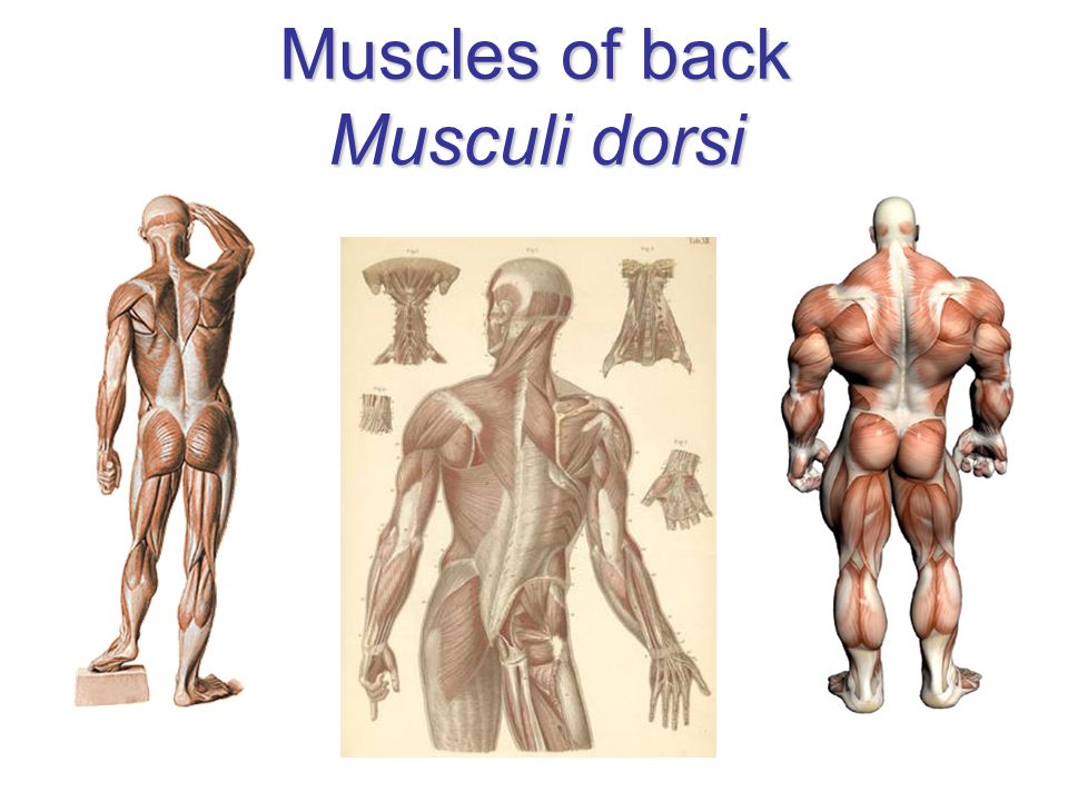 Muscles of back Musculi dorsi