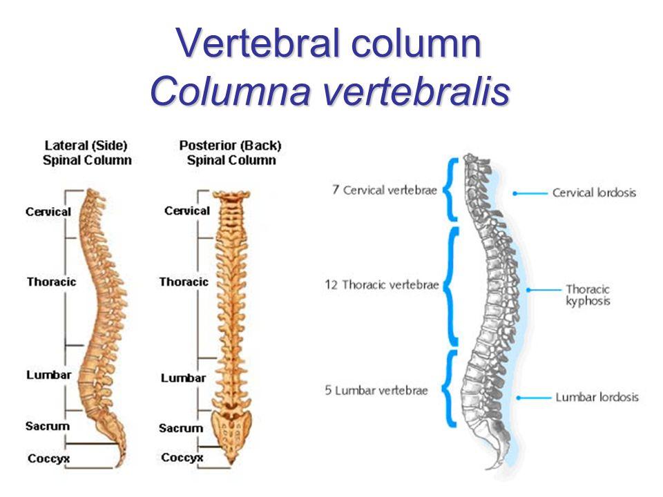 Vertebral column Columna vertebralis