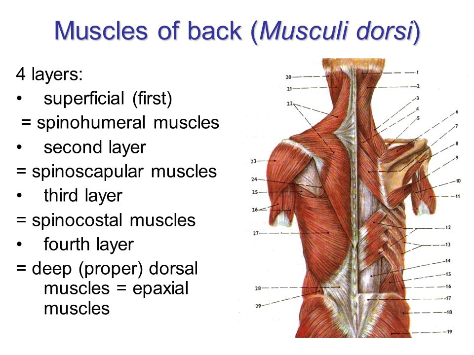 Muscles of back (Musculi dorsi)