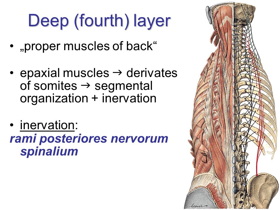 "Deep (fourth) layer ""proper muscles of back"