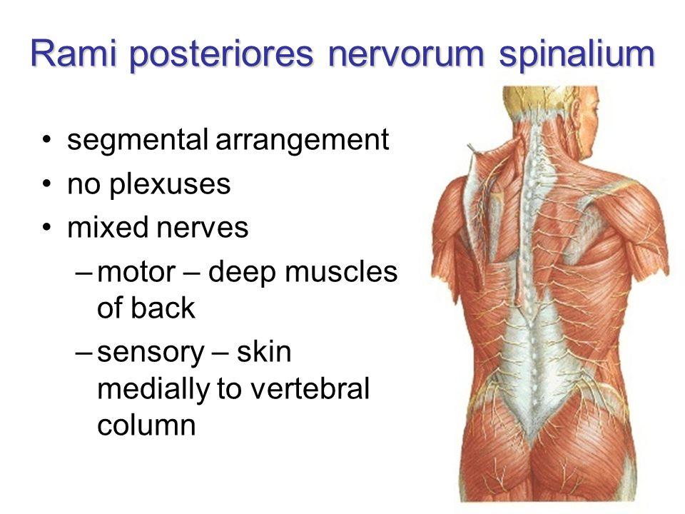 Rami posteriores nervorum spinalium