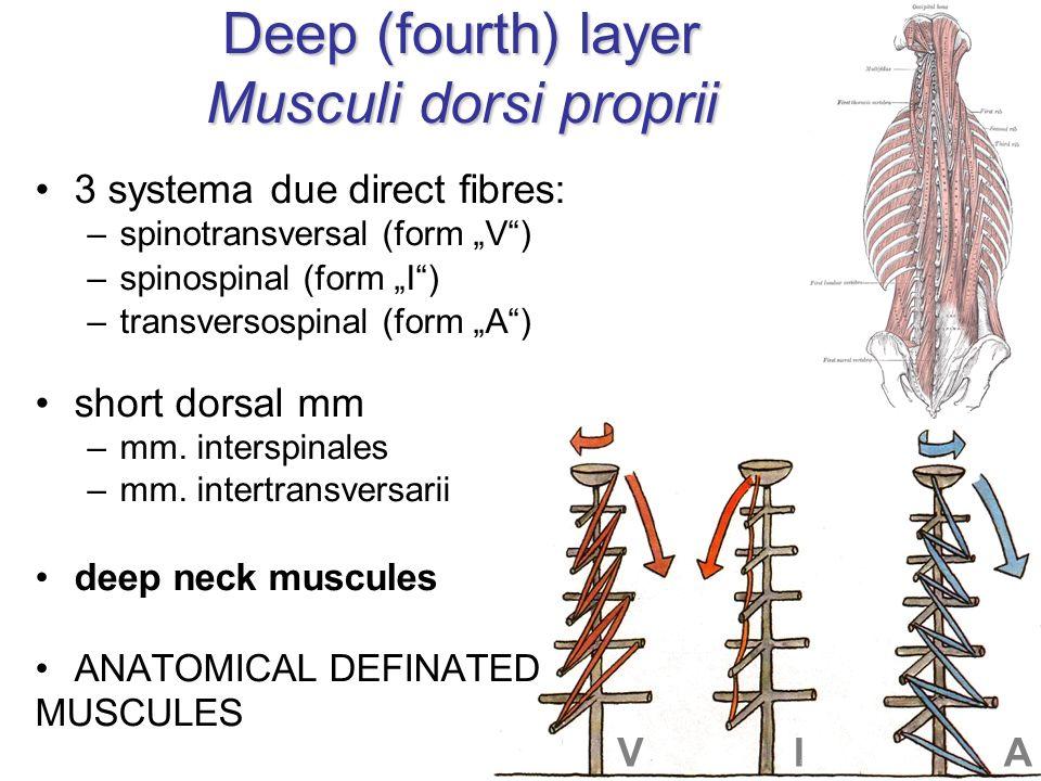 Deep (fourth) layer Musculi dorsi proprii