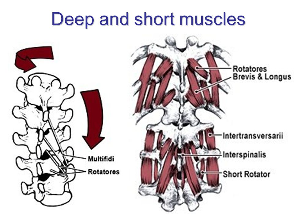 Deep and short muscles