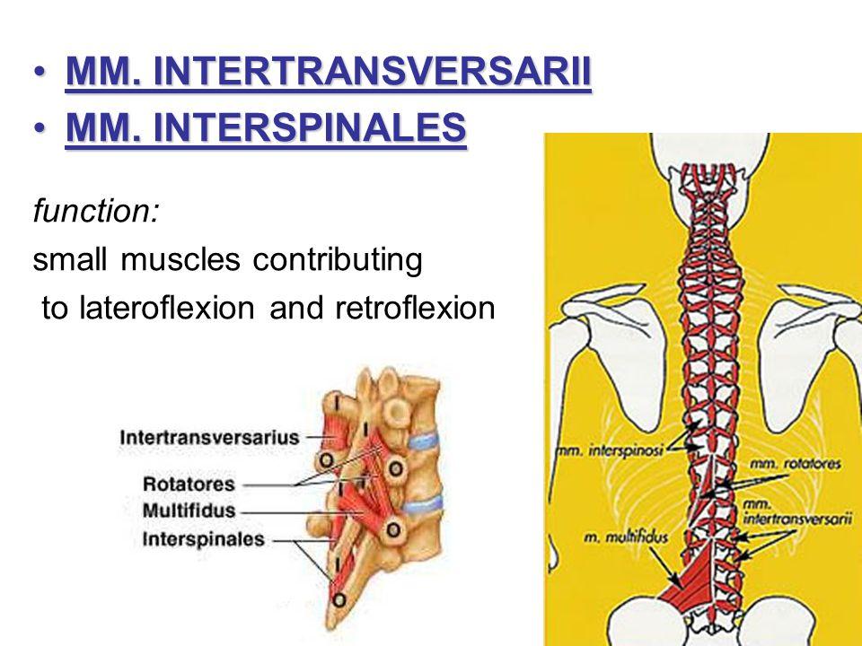 MM. INTERTRANSVERSARII MM. INTERSPINALES
