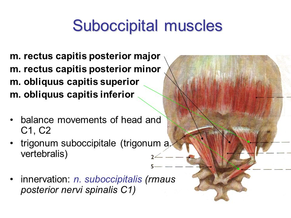 Suboccipital muscles m. rectus capitis posterior major