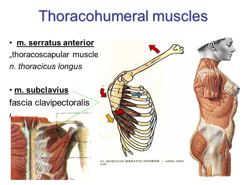 Thoracohumeral muscles