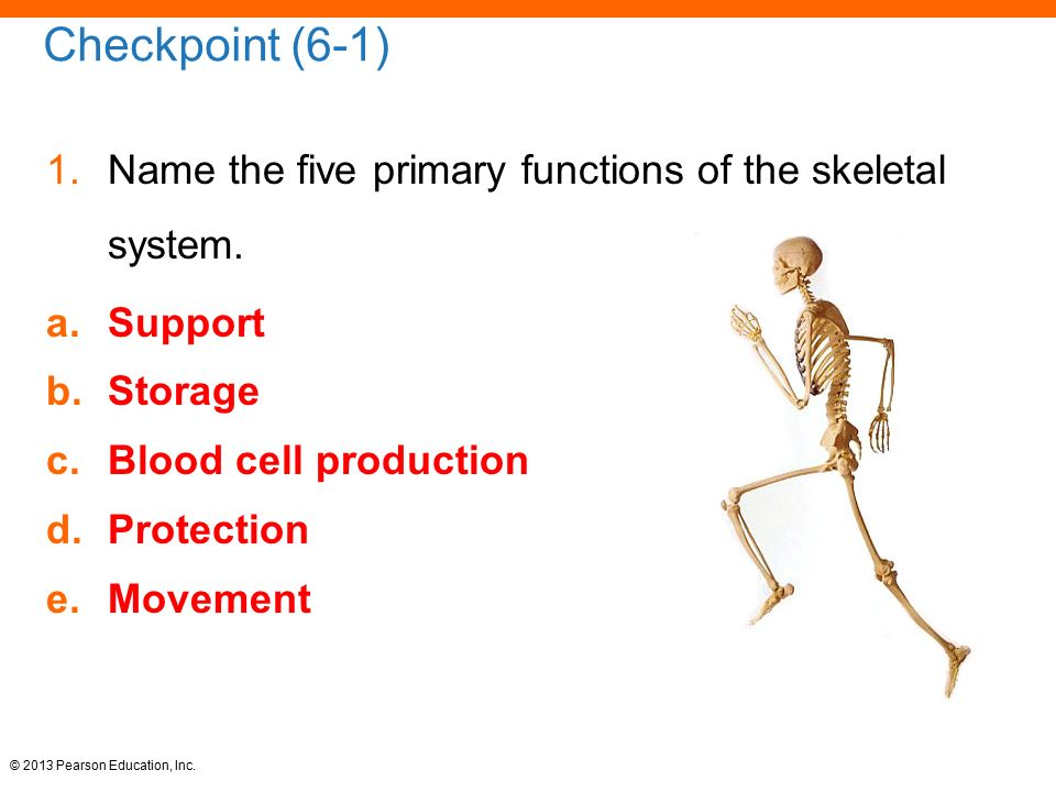 Pictures Of Skeletal System Support Kidskunstfo