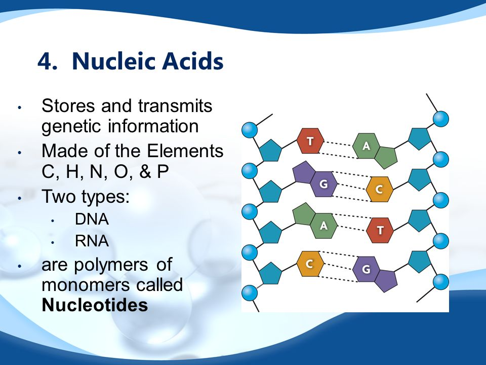 4. Nucleic Acids Stores and transmits genetic information