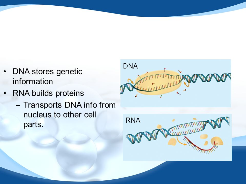 DNA stores genetic information RNA builds proteins