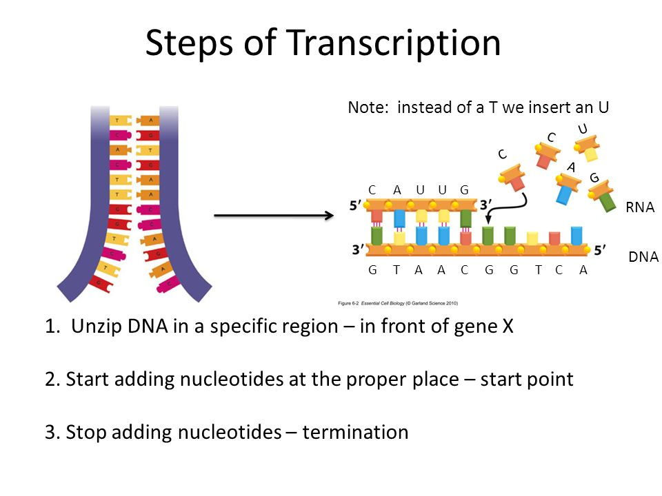 Genetic Information DNA – RNA to Protein - ppt video ...
