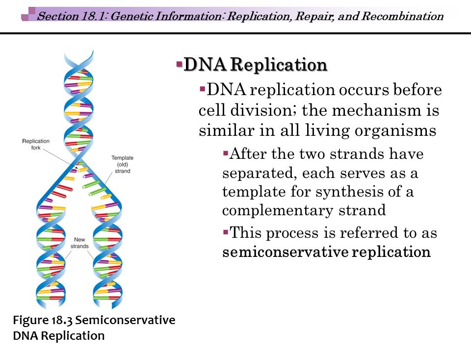 semiconservative replication involves a template what is the template - biochemical building blocks ppt download