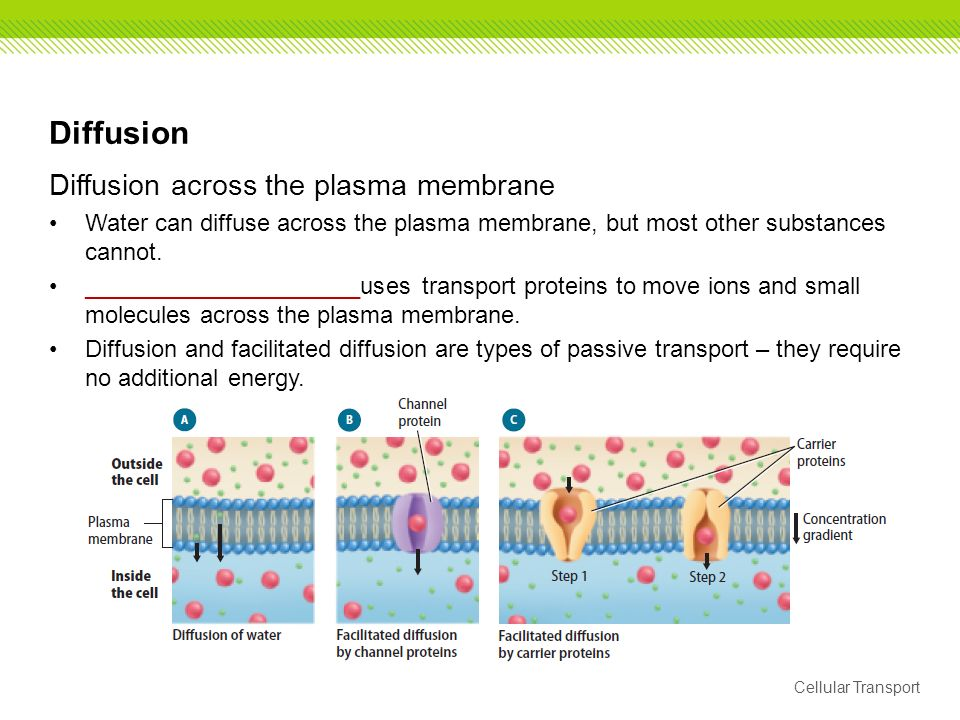 most proteins can easily move across the plasma membrane This chapter is focused on the pathways and molecular mechanisms of water transport across the plasma membrane of animal cells.